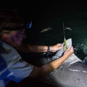 Mote Receives Federal Grant to Study Highly Migratory Sharks As Part of New Consortium