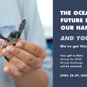 Mote Marine Laboratory & Aquarium Launches New Campaign for the 2020 Giving Challenge: In Your Hands