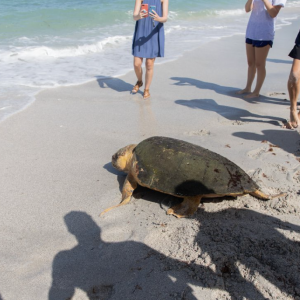 Mote Marine Laboratory Releases Two Sea Turtles
