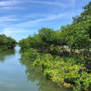 Protecting Our Mangrove Bayou