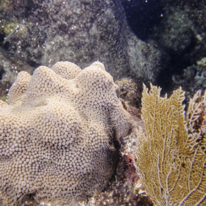 Mote Marine Laboratory Documents Another First for Massive Corals in Florida
