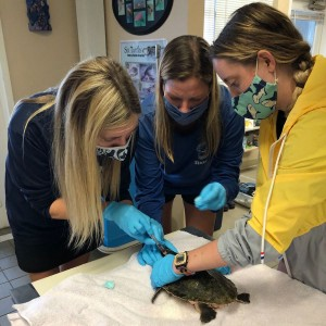 Mote Marine Laboratory Receives Cold-Stunned Turtles from New England