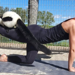 Big Cat Habitat Hosts Lemur Yoga Fundraiser