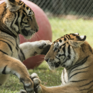 Junior League of Sarasota Announces Jungle Jamboree Held at Big Cat Habitat
