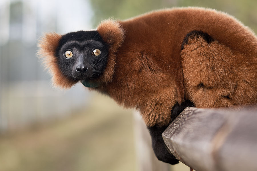 Photo by Wyatt Kostygan. A red-ruffed lemur, critically endangered in its native Madagascar, finds a protected home at the Myakka City Lemur Reserve.